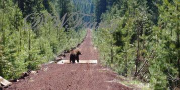 BEAR on Great Shasta Rail Trail